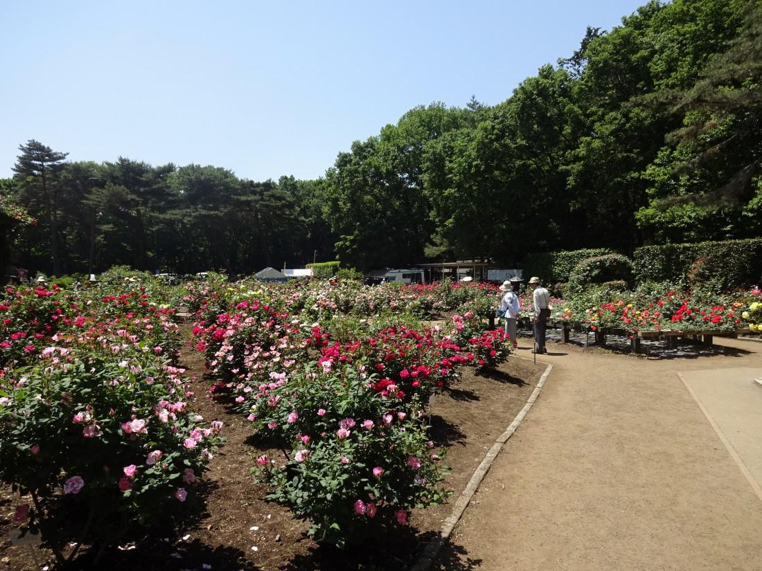 花情報(2019/5/24)バラが見頃です