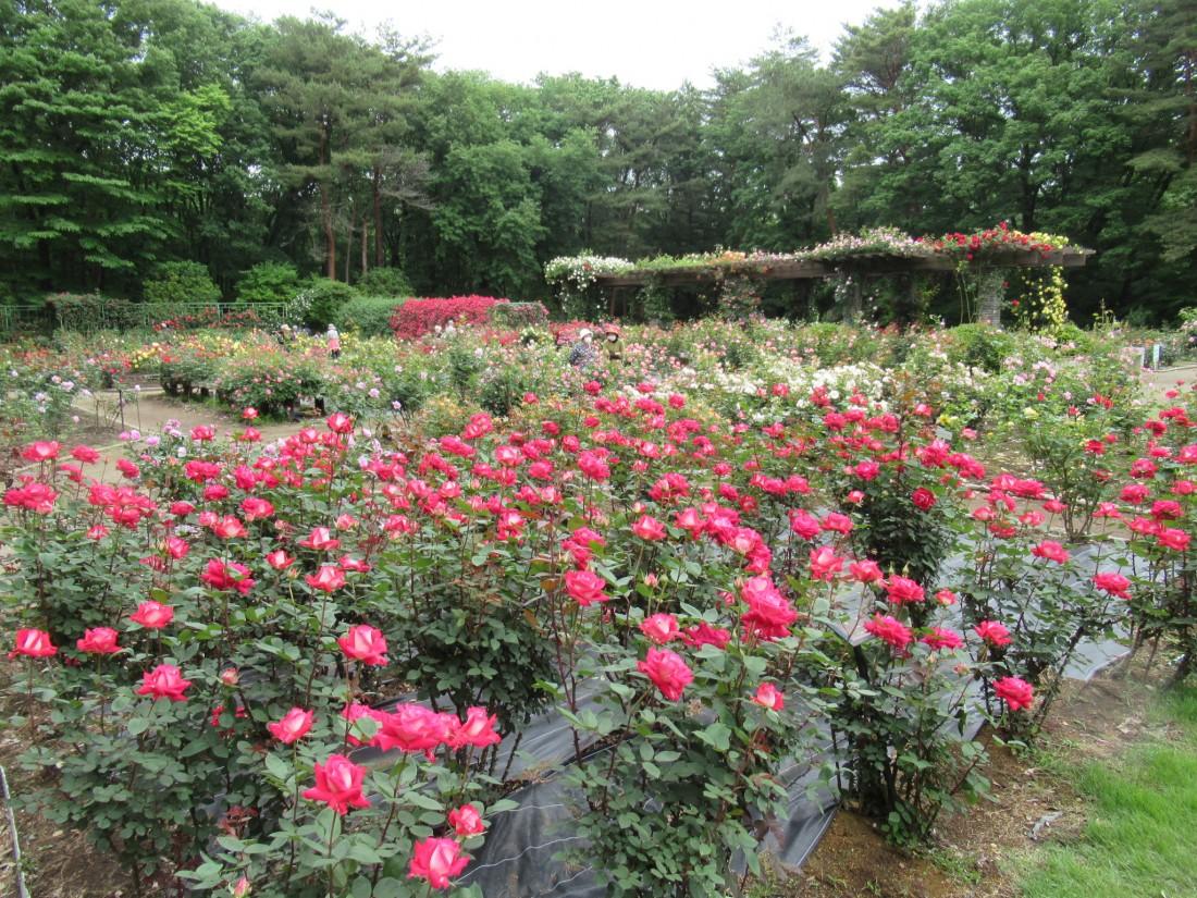 花情報(5/22バラ園)バラが見頃です。