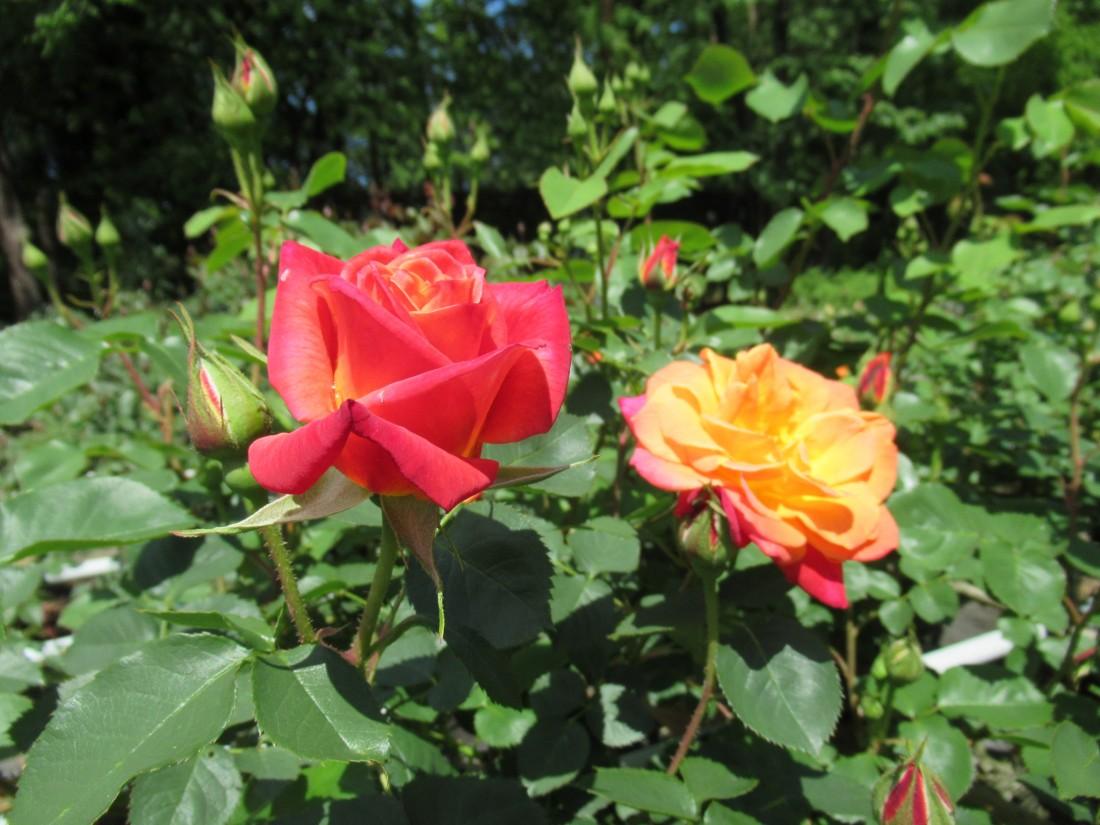 バラが咲き始めました(2021/5/2)