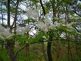 マルバアオダモの花