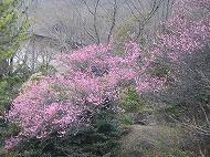 みかも山の花情報(平成27年3月7日)