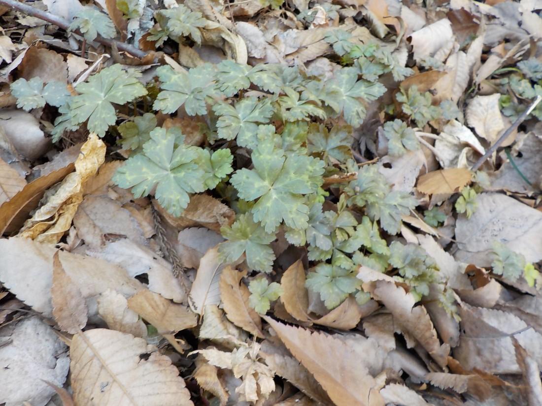 ニリンソウの葉