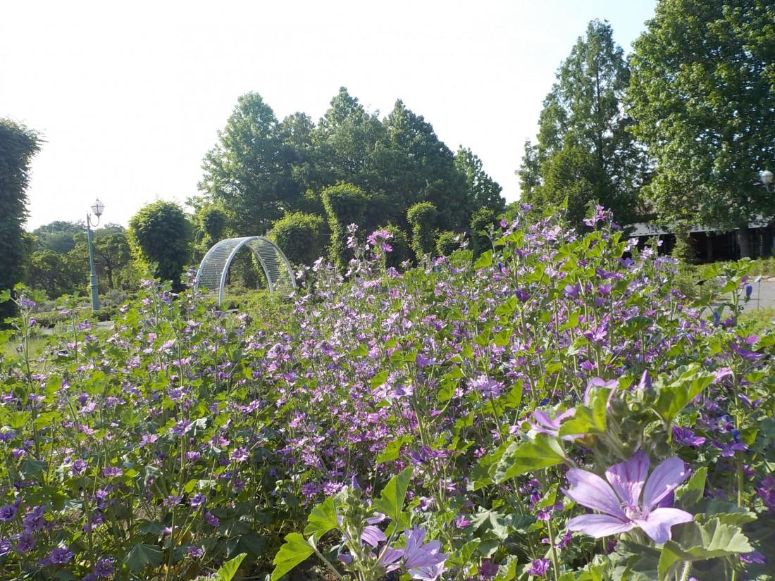 マロウとエルサレムセージの花が咲いています