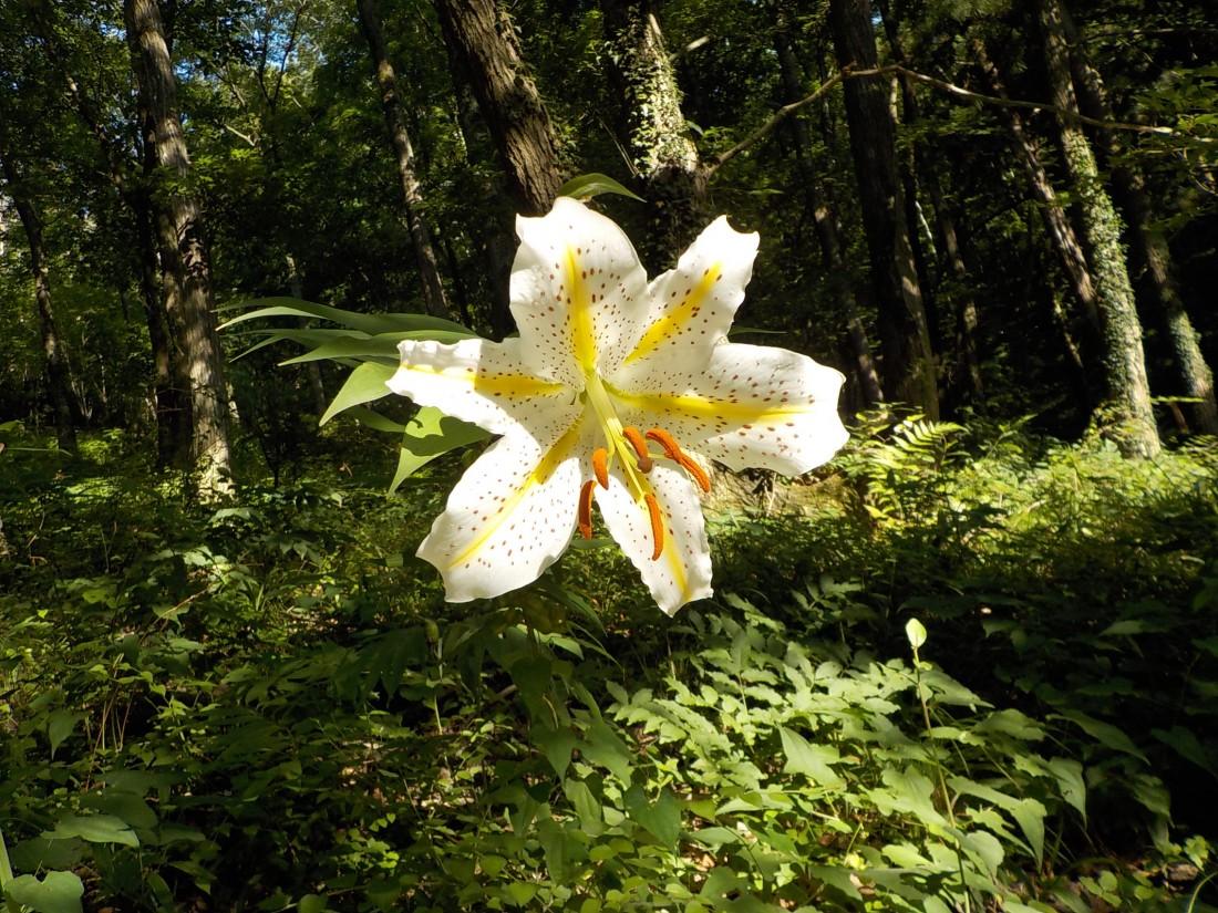 ヤマユリが咲き始めました(2017/07/10)