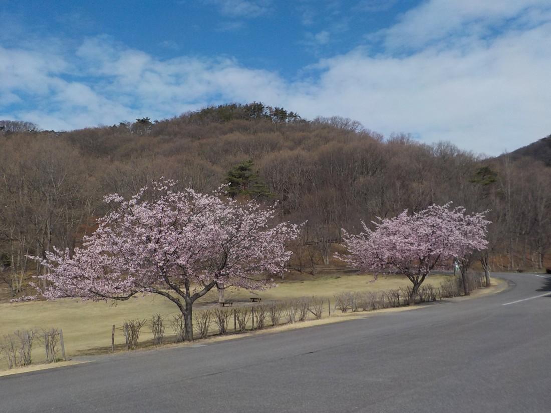 みかも山公園花情報(2018/03/23)
