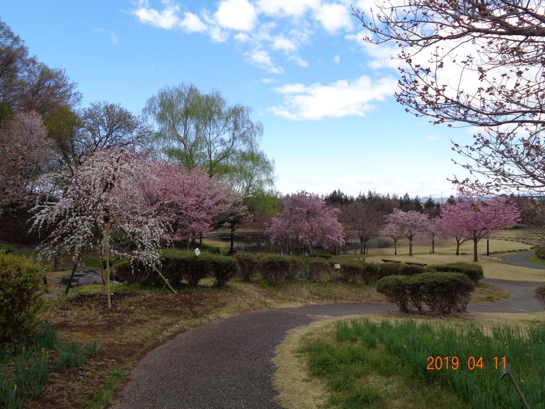 万葉庭園桜