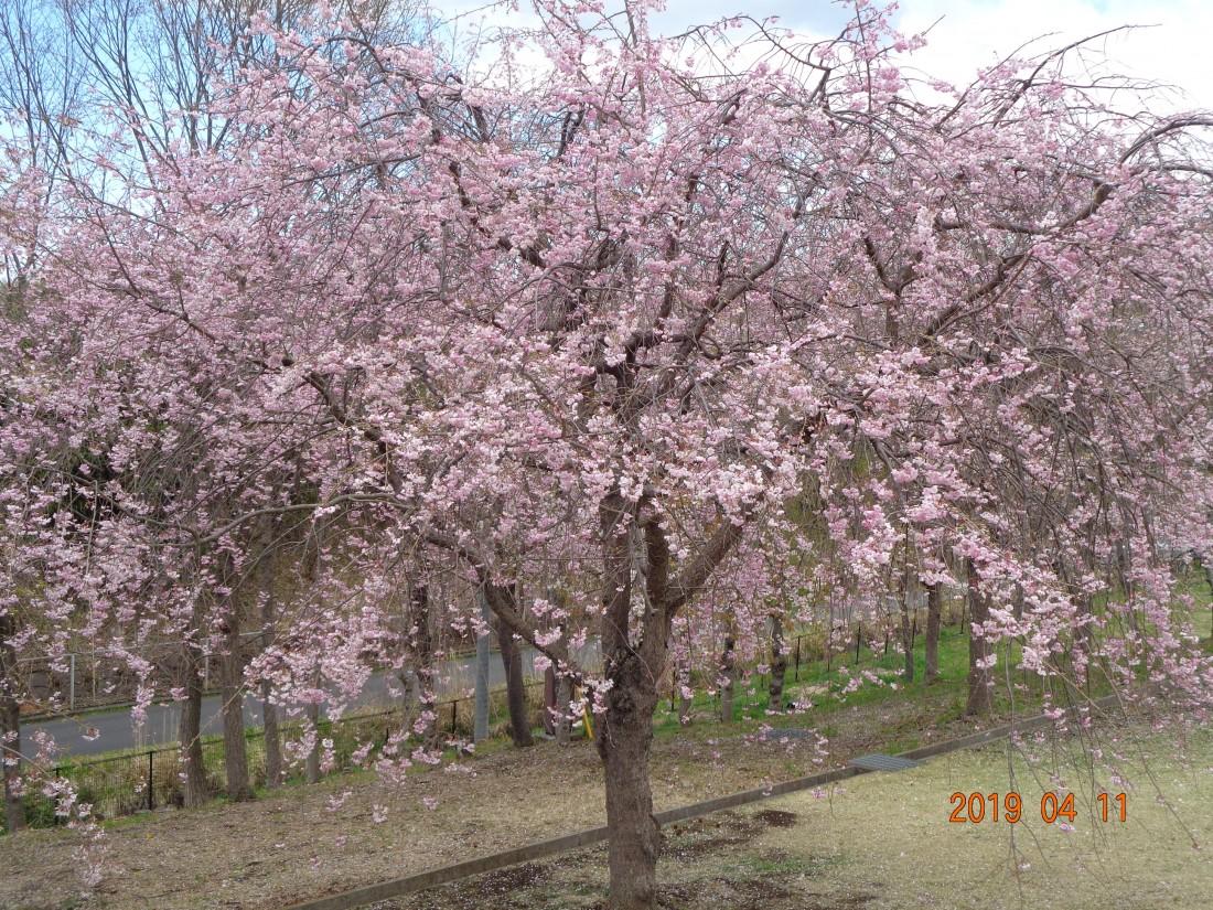 西口しだれ桜
