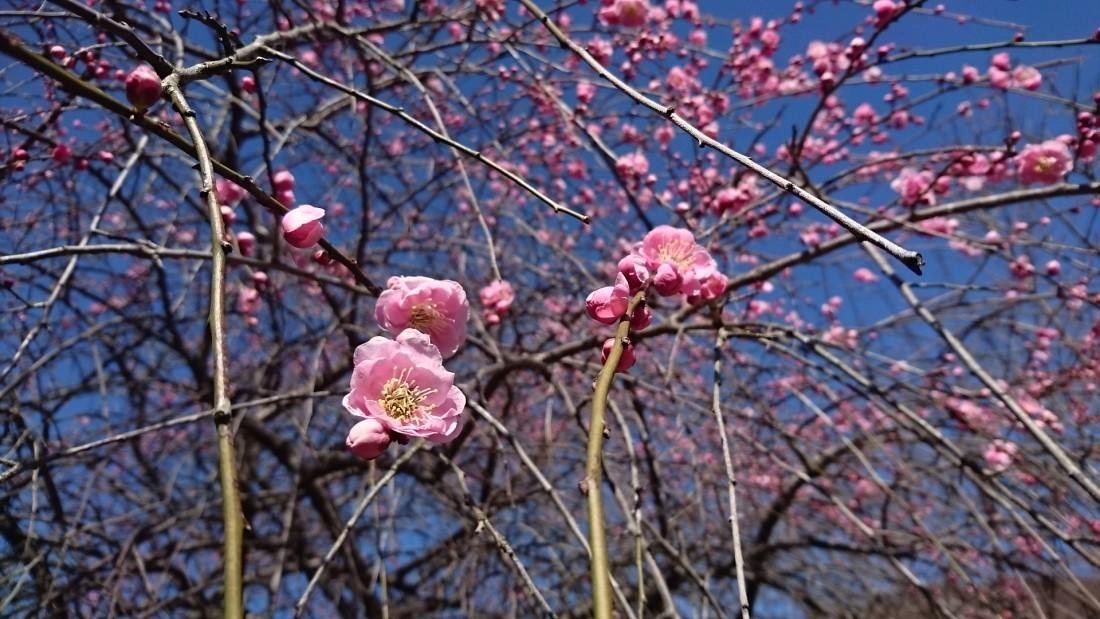 みかも山公園花情報(2020.2.19)