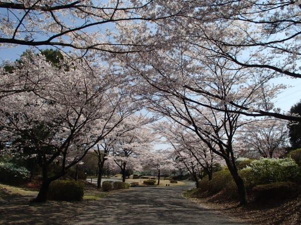 那須野が原公園4月サクラ
