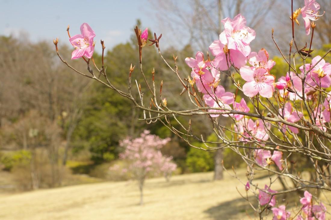 4月 ヤシオツツジ(アカヤシオ)