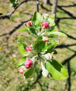 20190415リンゴ