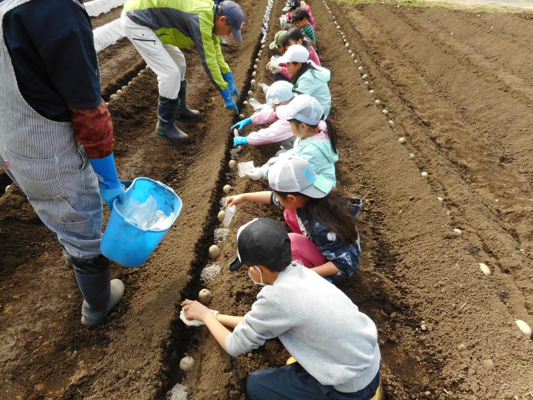 農業体験『ジャガイモの植え付け』