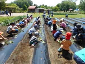 19.05.25サツマイモ植付(農業体験プログラム) (96)