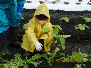 20.09.26秋野菜の管理(農業体験) (31)