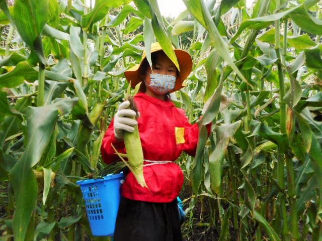 農業体験『スイートコーンくらぶ』*お申込みは終了しています