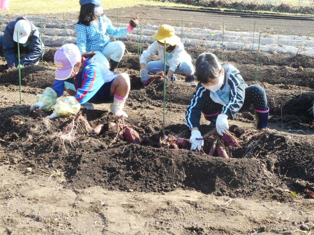 農業体験『サツマイモくらぶⅡ(シルクスイート)』*申込み終了講座